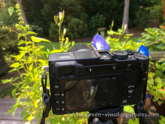 Fuji X-E2 taking macro photo of morning glory flowers